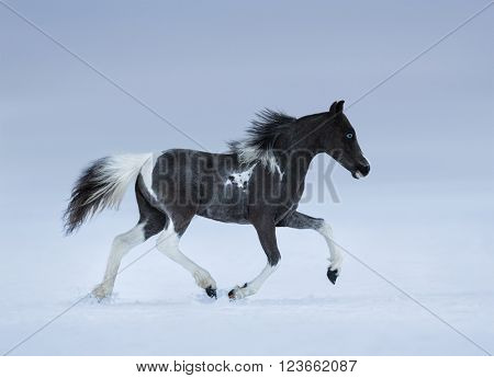 American miniature horse. Blue-eyed foal trotting on snow field.