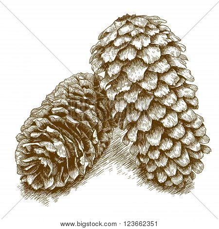 Vector antique engraving illustration of two pine cones isolated on white background