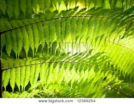 Sun shining through fern leaves in a rainforest in New Zealand