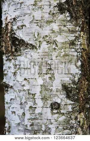 vintage white tree material structure wood forest