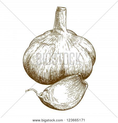 Vector engraving illustration of garlic isolated on white background
