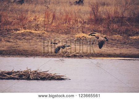 Vintage and retro toned image of two geese over the river. ** Note: Visible grain at 100%, best at smaller sizes