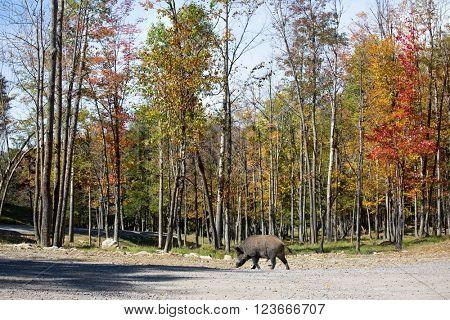 Wild boar entered the glade. Safari Park