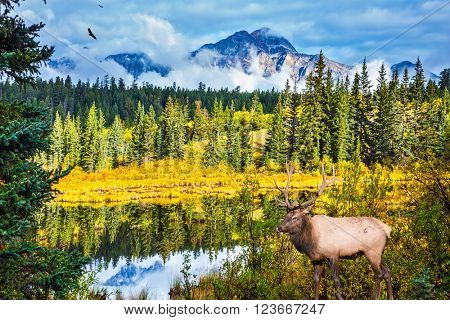 The red deer with branchy horns has a rest at the lake among grass. Warm autumn day in park Jasper, the Rocky Mountains of Canada