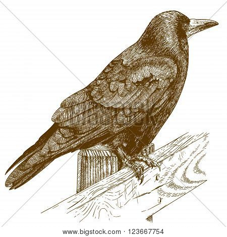 Vector antique engraving illustration of raven isolated on white background