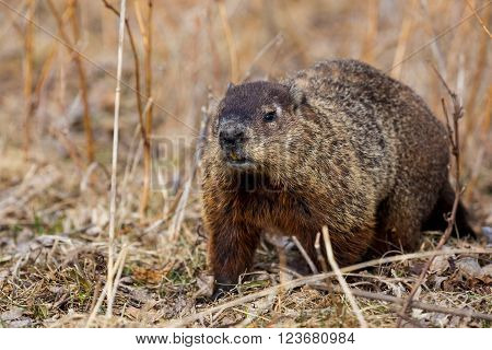 Groundhog Day is a traditional holiday celebrated on February 2. According to folklore, if it is cloudy when a groundhog emerges from its burrow on this day, then the spring season will arrive early.
