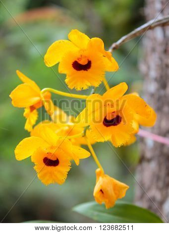 Dendrobium chrysotoxum Lindl, yellow orchid in thailand