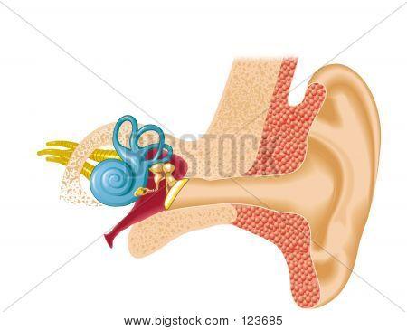 Escuchar, pabellón auricular