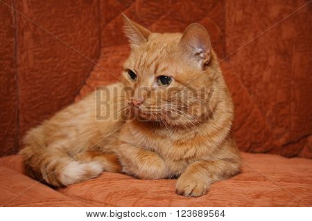 European cat with red fur on the red background