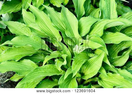Green leaves of hosta with rain drops on flower bed in the garden