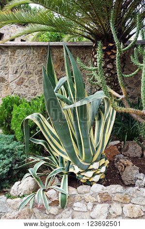 Agave americana flower in a garden, Barcelona, Spain