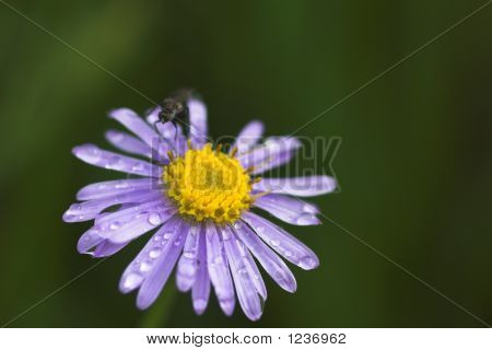 Alpine Aster With Water Drops