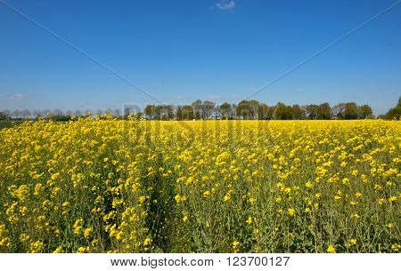 Landscape with rape seed and farm houses