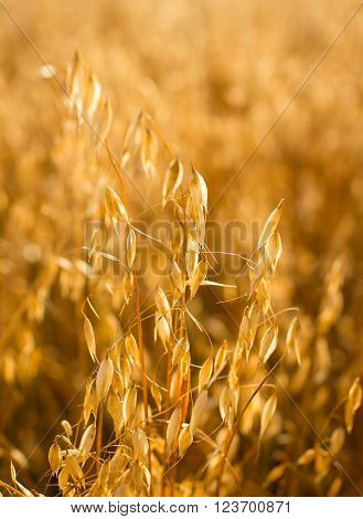 Close up view of spikelets of oats an agricultural background