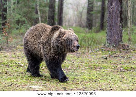 big female of brown bear (Ursus arctos) in winter forest, Europe, Czech republic