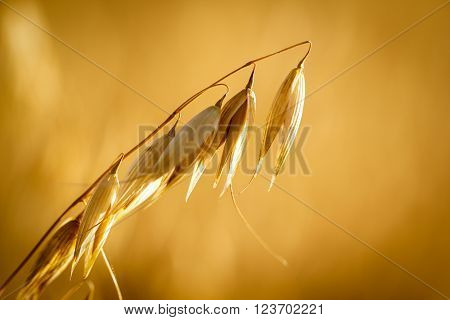 Golden ears of oat on the field