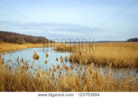 Common reed (Phragmites) yellow and blue autumn background