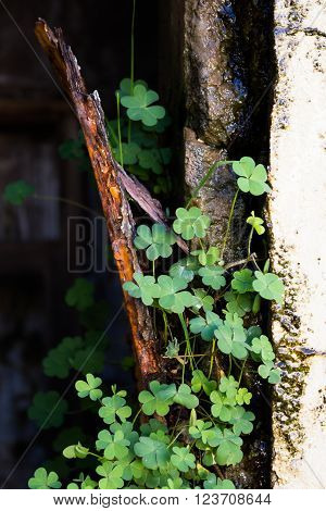 Shot of clover growing against a run down watery wall