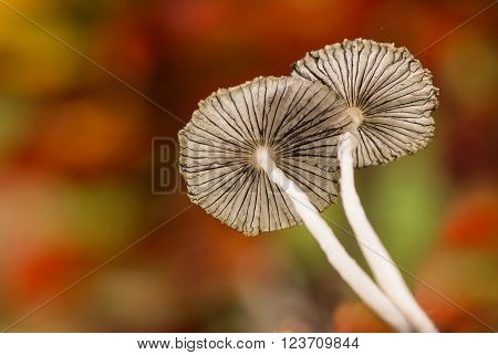 Two Parasol mushrooms Coprinus plicatilis from low view point to see underside