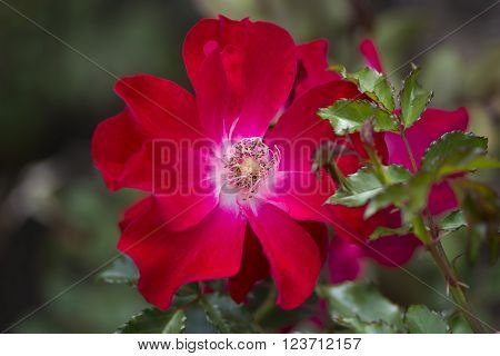 Red Rose In The Soldiers Memorial Gardens, Port Elliot