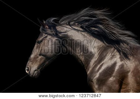 Black stallion with long mane in motion portrait isolated