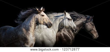 Horse herd portrait run gallop isolated on black background