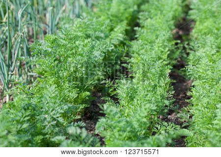 Garden bed with carrots growing in rows