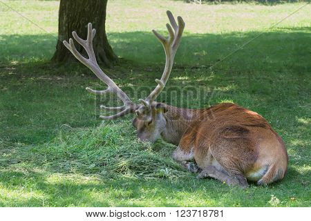 Lying grazing mature stag with huge antlers crown on its head