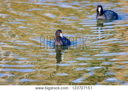 American Coot In Water