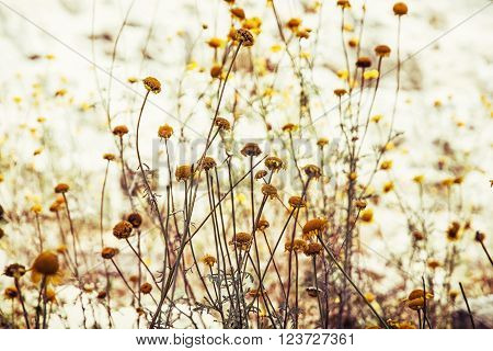 Matricaria chamomilla (Matricaria recutita) commonly known as chamomile (also spelled camomile) German chamomile Hungarian chamomile (kamilla) wild chamomile or scented mayweed is an annual plant of the composite family Asteraceae. Beauty in nature.