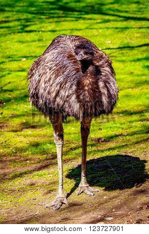An emu stands on the meadow, on alert.
