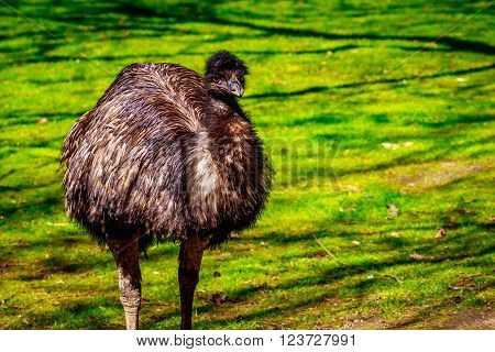 Emu On Meadow
