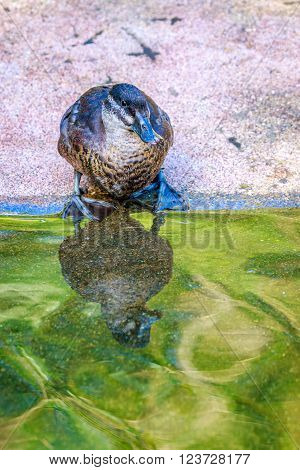 A Female Maccoa Duck stands by the pond, with reflection in water.