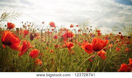 Field of bright red poppy flowers in summer
