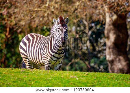 Plains Zebra On Meadow