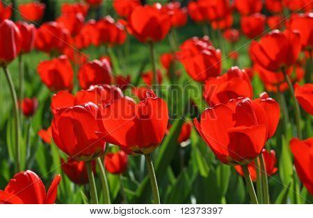Schöne rote Tulpen-Hintergrund