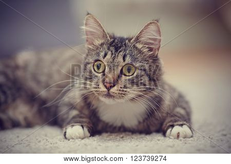 Portrait of the interested cat of a striped color with yellow eyes.