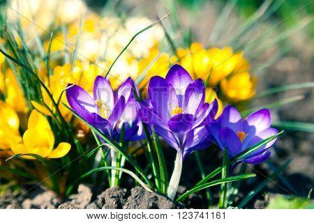 violet crocus on yellow crocus in spring,The crocuses family