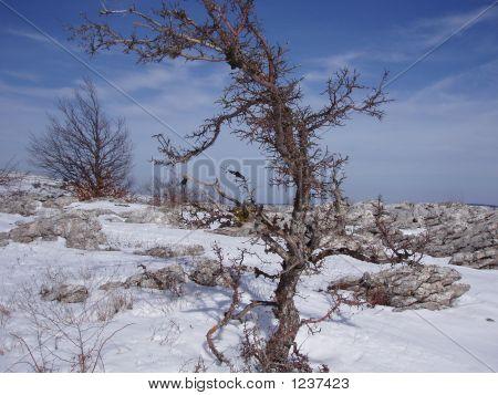 Árvore espinhosa