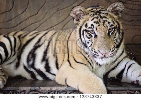 a tiger cub laying with eyes forward