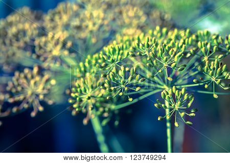 close up of Dill inflorescence on a garden background.