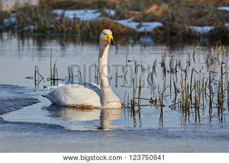 Whooper swan swimming in cold icy water of a lake in the spring
