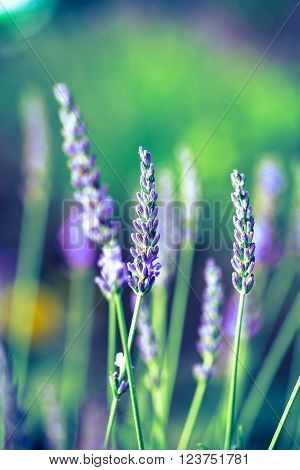 close up of Lavender Flowers in the garden