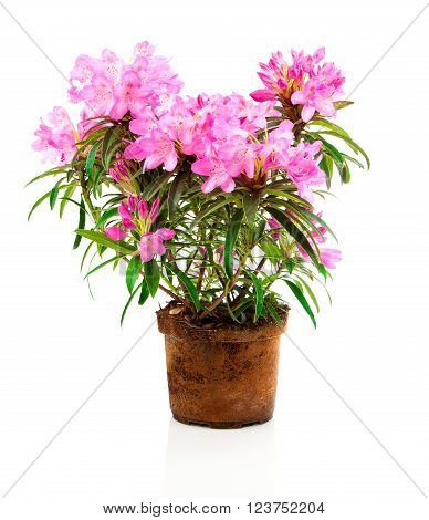red Rhododendron flowers isolated on white background