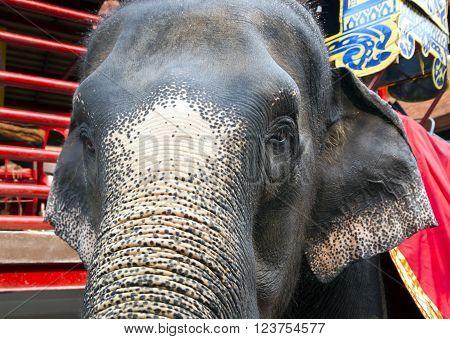 Thai elephant in Nong Nooch tropical garden in Pattaya, Thailand.