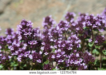 Flowers of thyme. Thyme is commonly used in cookery and in herbal medicine.
