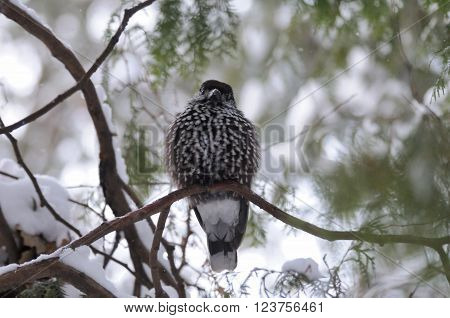 Perching Spotted nutcracker (Nucifraga caryocatactes) in winter forest. Moscow region Russia