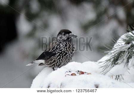 Perching Spotted nutcracker (Nucifraga caryocatactes) in winter forest near nuts. Moscow region Russia
