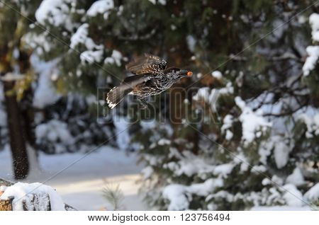 Flying Spotted nutcracker (Nucifraga caryocatactes) with a nut in winter forest