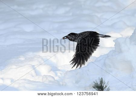Flying Spotted nutcracker (Nucifraga caryocatactes) with nuts above snow. Moscow region Russia